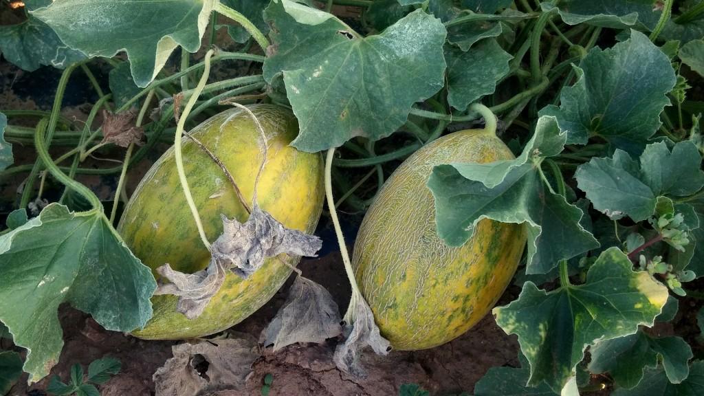 Més melons grocs