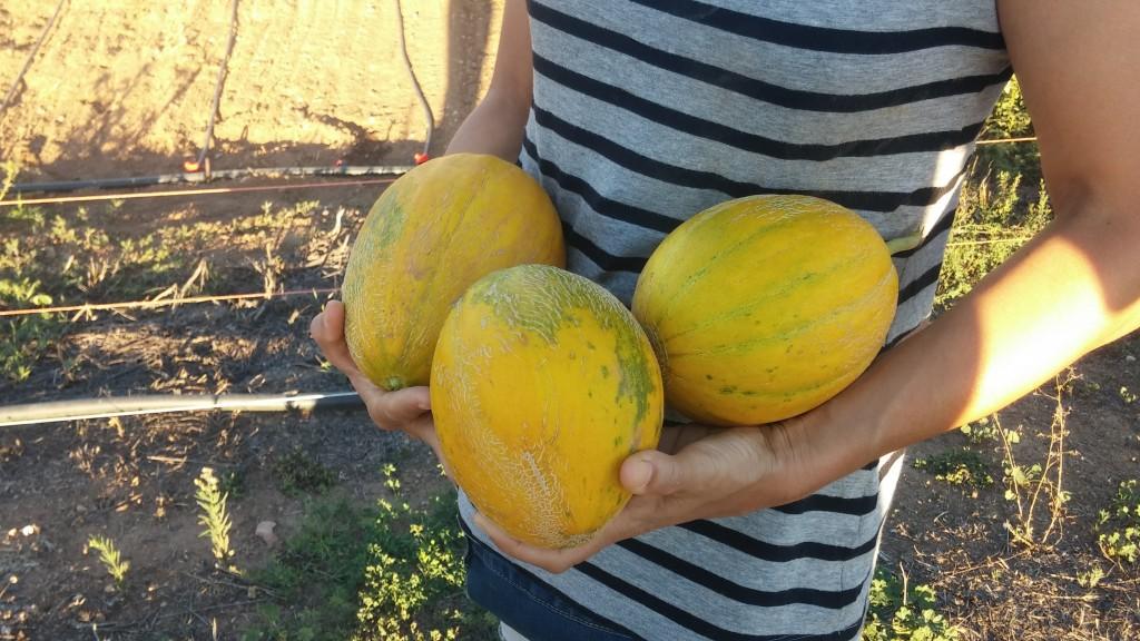 Melons grocs ja collits